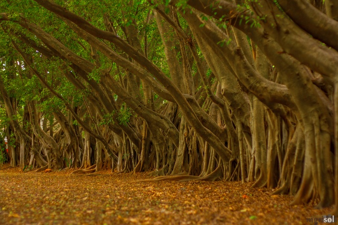 Trees lined up by mgrisoli - More Of The Same Photo Contest