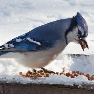 A blue jay filling its beak with peanuts.