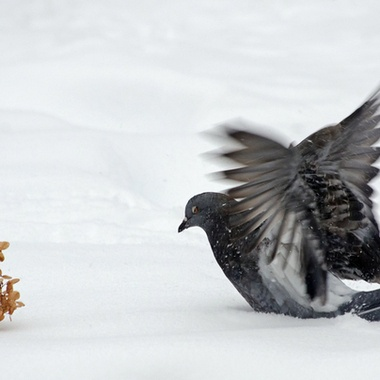A pigeon chasing a dried flower across the snow.