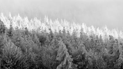 Matra trees B&W