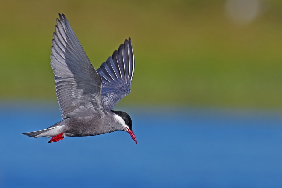Whiskered Tern hunting at Boplaas dam on the Brink\'s farm near Jeffreys Bay in the Eastern Cape.