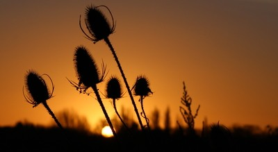 Teasel and the Sunrise