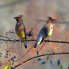 A pair of Cedar Waxwings, had to upload from my facebook page,couldn't upload from computer for some reason, so sorry for no Exif Info