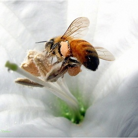 Caaptured in northern CA., USA - Honey bee and Datura macro
