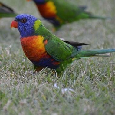 Rainbow lorikeet, Red Head, NSW, AU