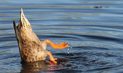 Water Off a Ducks Webbed Foot