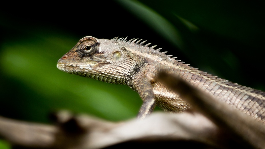 Changeable lizards. An invasive species that is well established around Singapore. It\'s ability t...