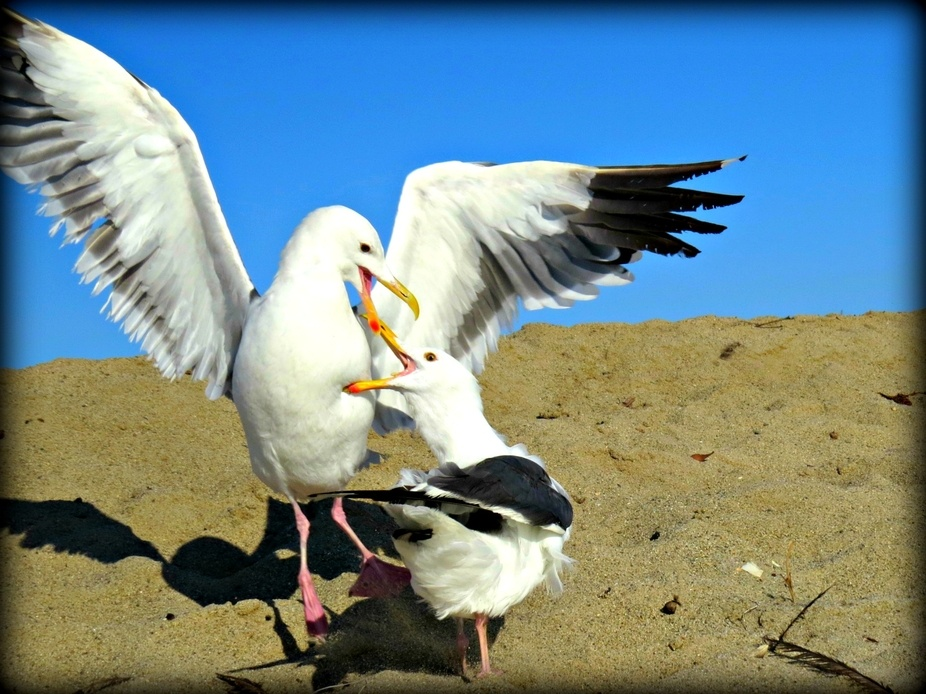 Two seagulls fight over a few crumbs of bread.