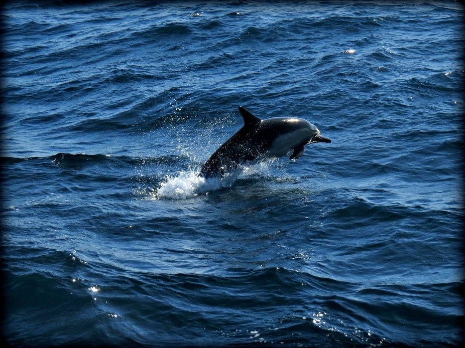 A dolphin leaps from the ocean in all of it\'s glory.