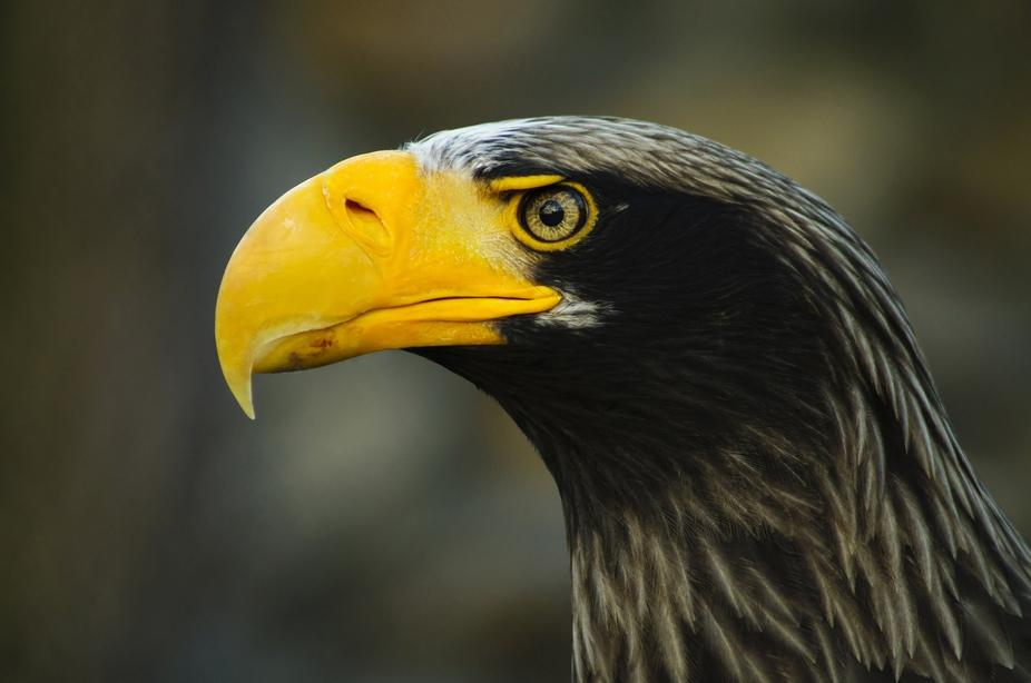 Stellar\'s eagle