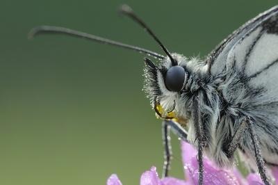 Pollen on the proboscis