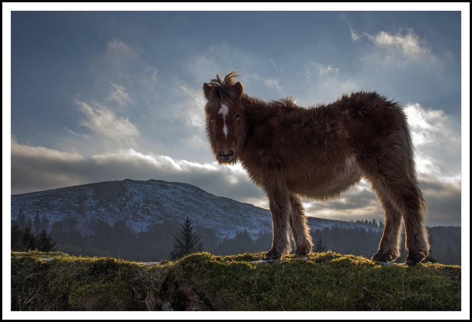 Contre jour photography, Dartmoor pony standing against the evening sunshine with Sheepstor behin...