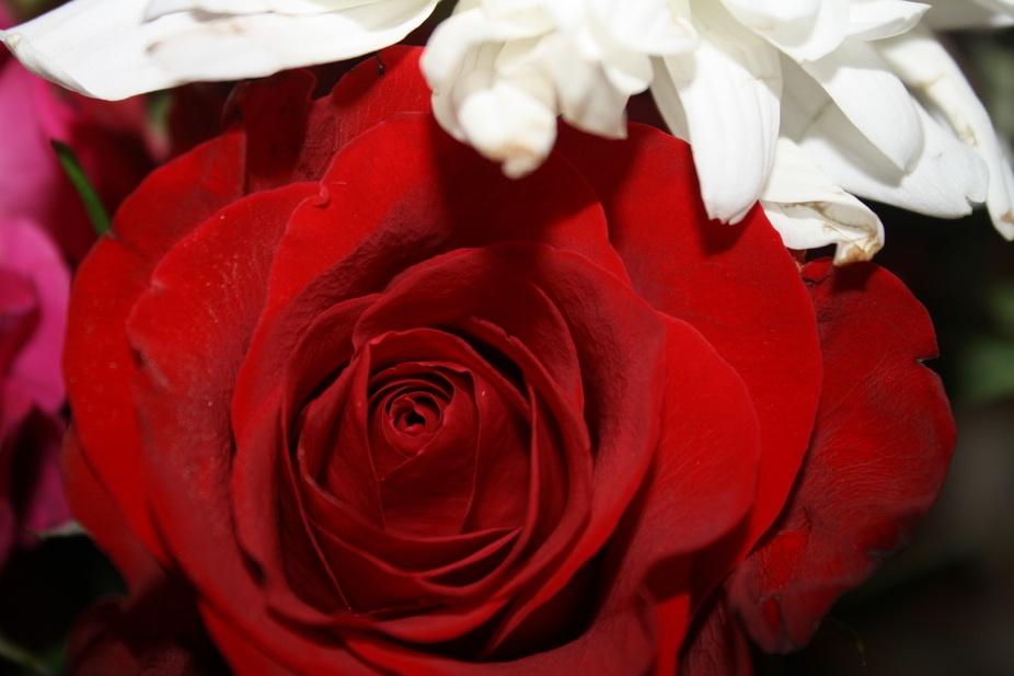 Red rose, white crysanthymum