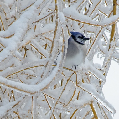 A blue jay perched in an ice and snow covered willow tree.