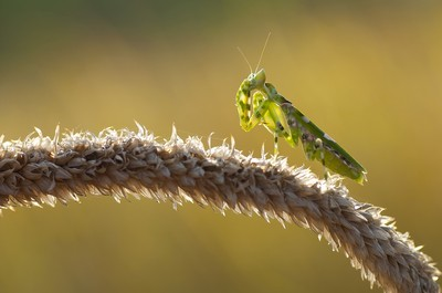 Ugly Mantis