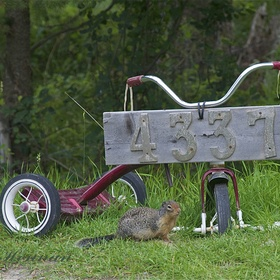 A Columbian Ground Squirrel checks out a unique rural lot sign.
