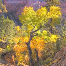 Fremont poplars frame many autumn images in Zion National Park