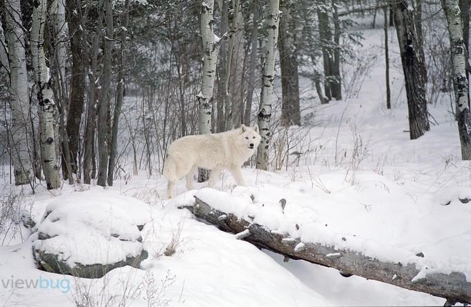 Arctic Wolf by Fujiguy - Winter Wildlife Photo Contest