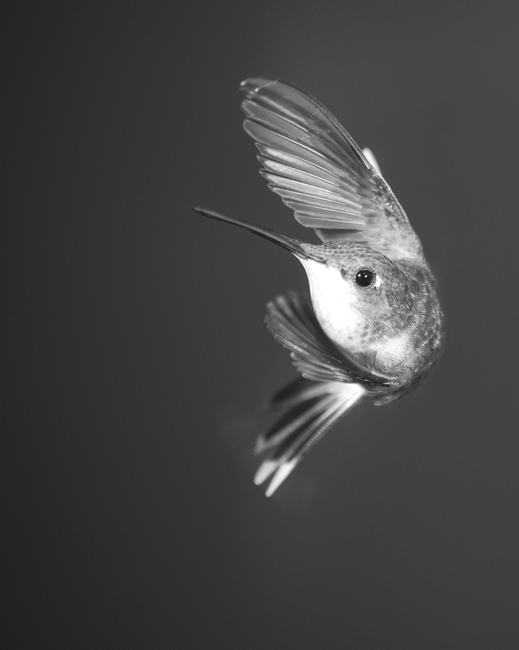 B&W Hummer by arquien - Hummingbirds Photo Contest