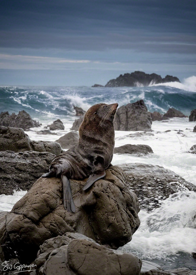 Seal Cape Palliser May-2013 by stephencoppinger - Get Wet Photo Contest
