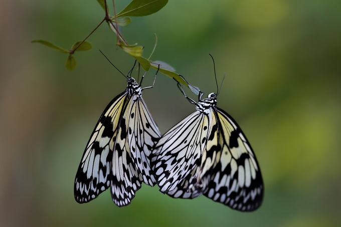 Rice Paper Butterflies by LynnsPhoto - Beautiful Butterflies Photo Contest
