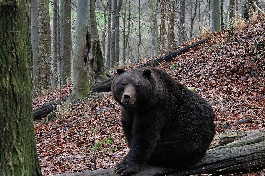 Beautiful brown bear in Germany.