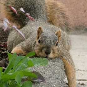 Sniffy, the Fox Squirrel, used to swing by to lounge around. Here, she is... lounging!  Baha :)