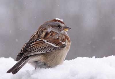 American Tree Sparrow _1030076