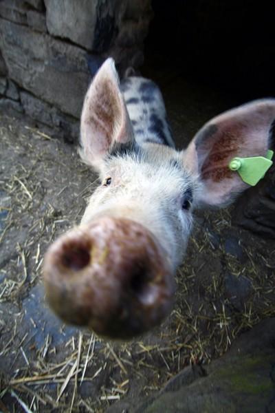 Bunratty_Pig