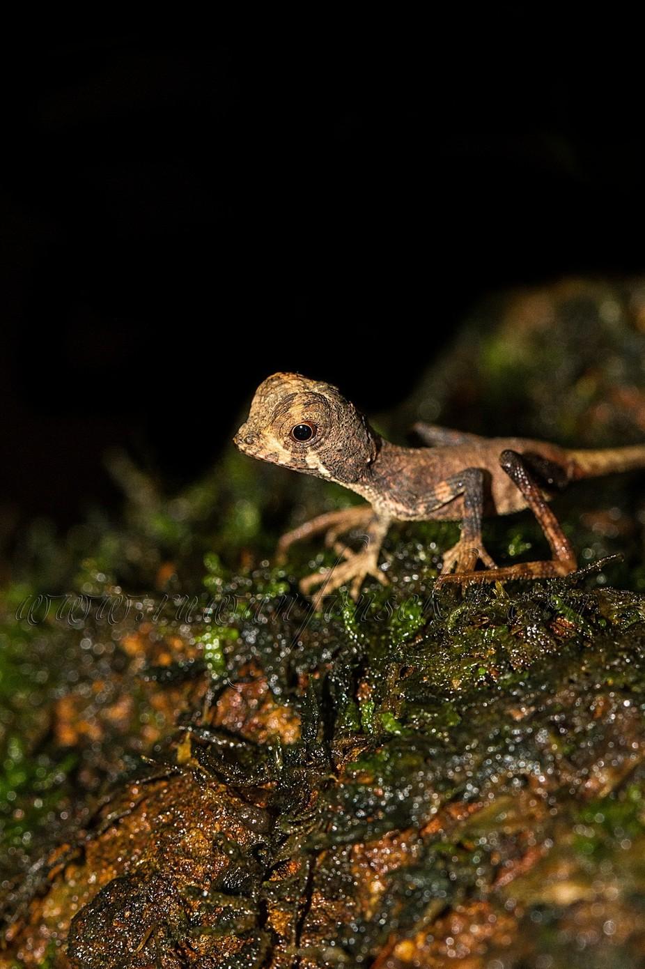 Baby Kangaroo lizard. by RuwanFonseka - Reptiles Photo Contest