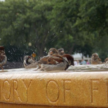 A few birds in a public bird bath in Washington, D.C.