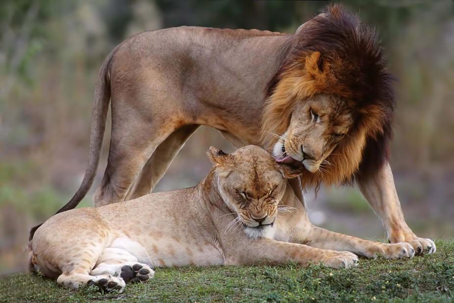 Extinction Of Big Cats