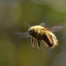 A hovering bee.