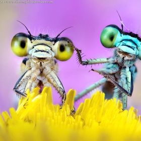 Two damselfly sharing a wild flower