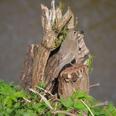 Thrush on a tree stump