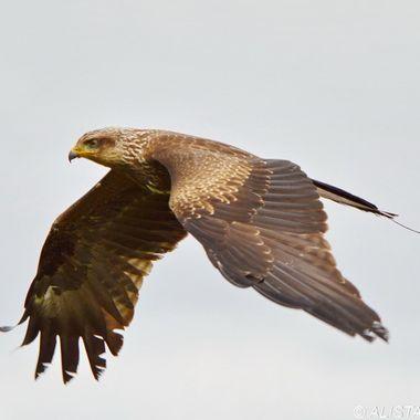 Sparrow the Black Kite
