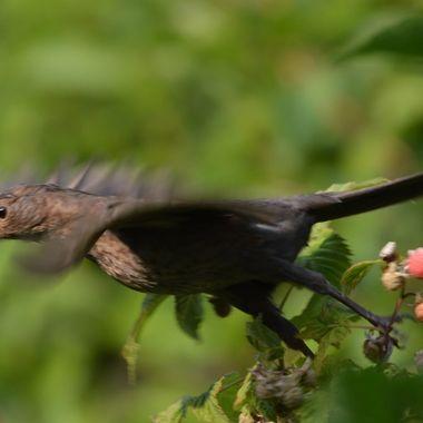 Blackbird take off