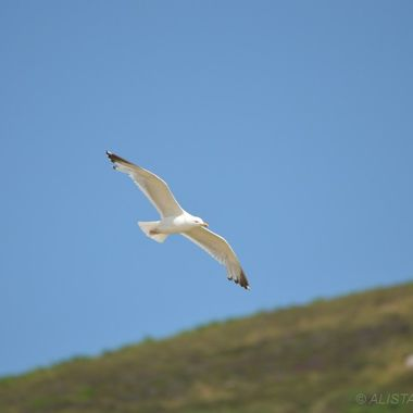 Seagull soaring the cliffs