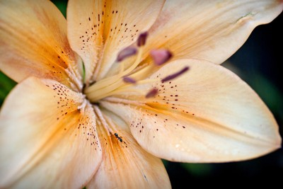 Peach Lily and Ant