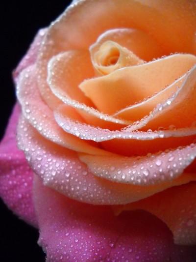 Creme Rose Macro
