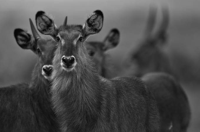 waterbuck by kasper - Animals In Black And White Photo Contest