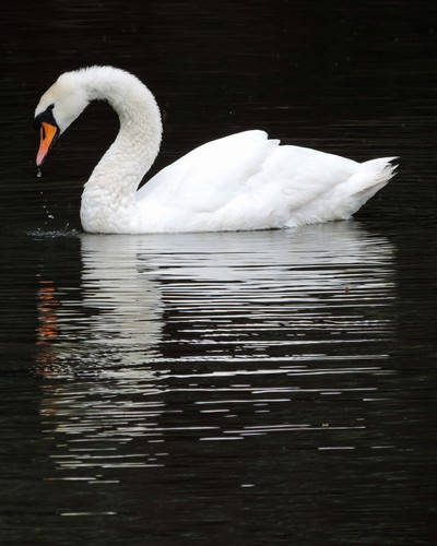 A Swan with a Droplet