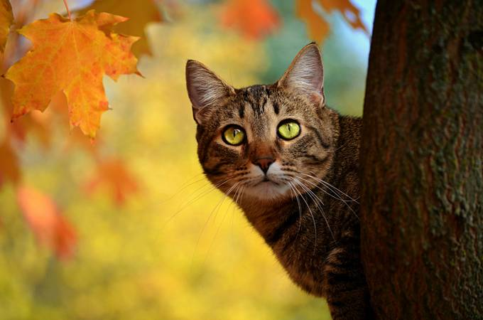 Fall Cat - Re edited by nightrose0087 - Pets With Character Photo Contest