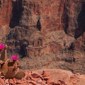 Flowers on the edge of the Grand Canyon.