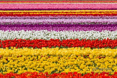 Layers of Tulips!