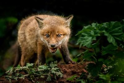 fox-cub-21