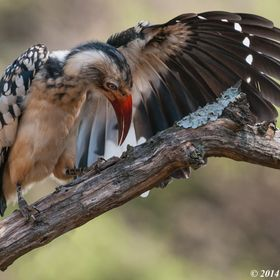 Southern Red-billed Hornbill (Tockus rufirostris), Mziki Safari Lodge, Mziki Private Nature Reserve, Beestekraal, North West, South Africa - 2014...