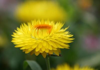 Chrysanthemum Dream State