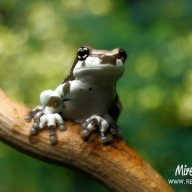 Amazon milk frog (Trachycephalus resinifictrix)