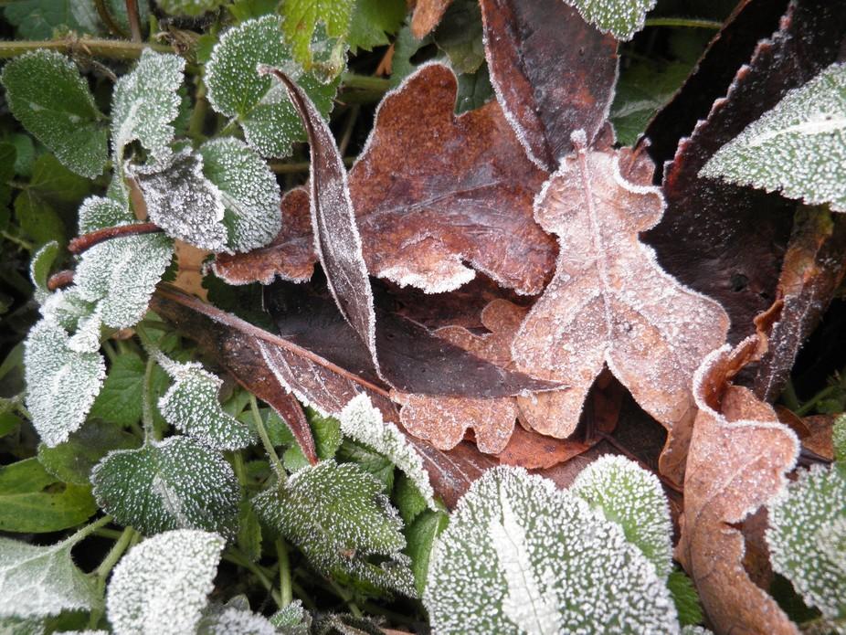 Rijp op bladeren in mijn tuin.